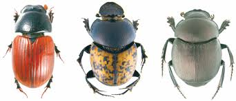 three beetles